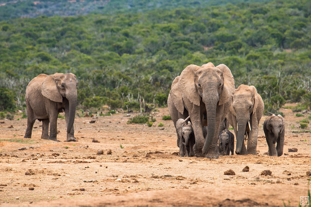 Family Parade // Addo National Park
