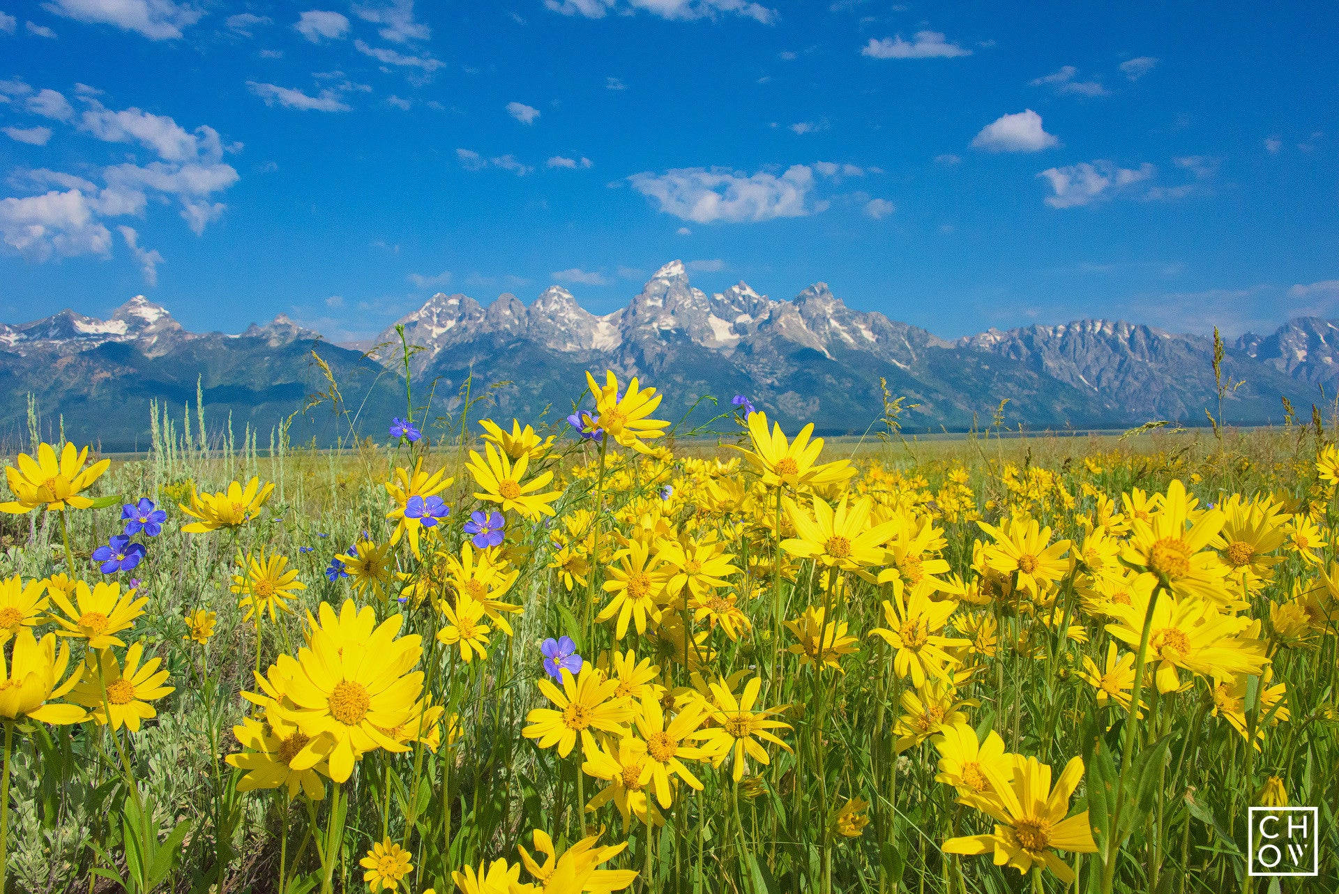 Mountain Flowers Grand Teton National Park Austin Chow Photography
