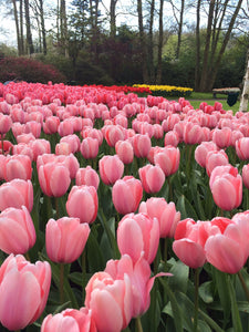Tulips are blossoming, are you?
