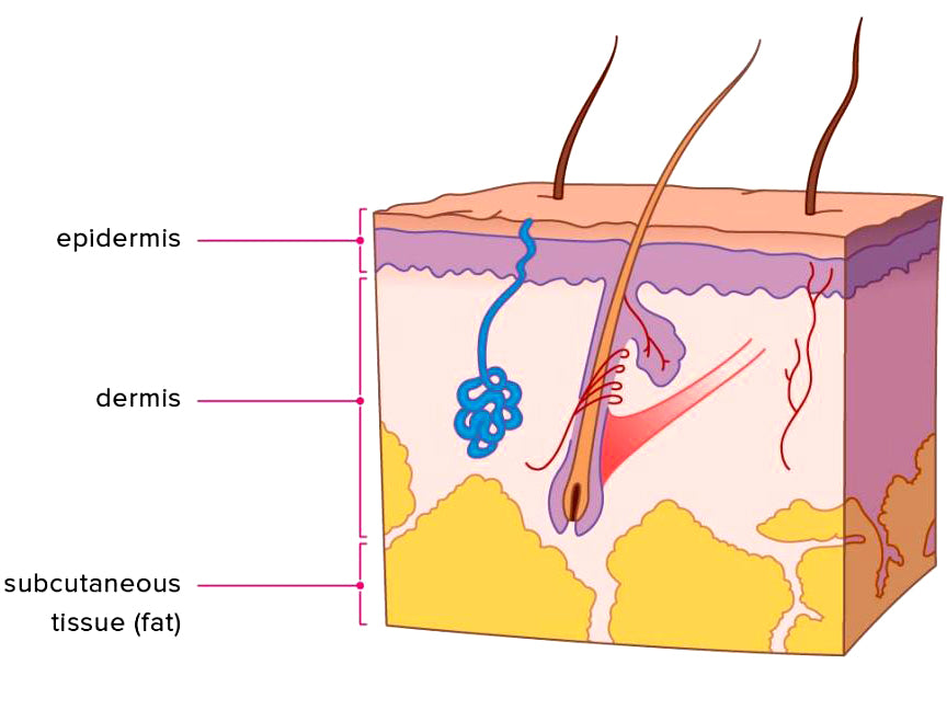 Diagram - Skin Layers