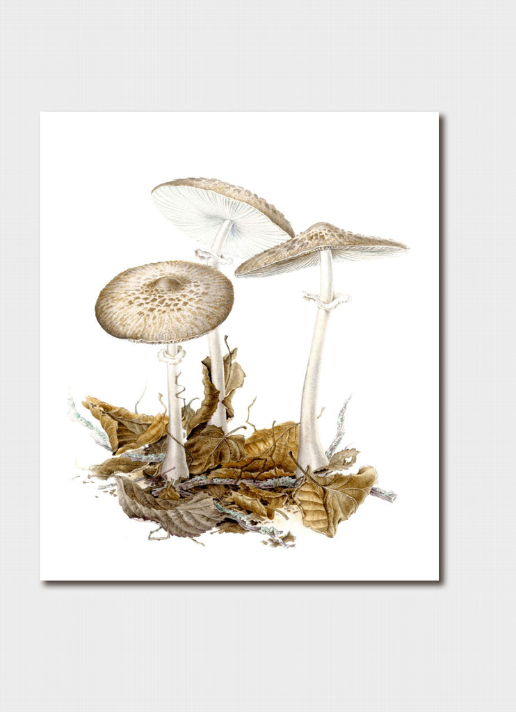 Elaine Musgrave art card - Macrolepiota, Fungi in leaf litter