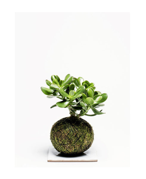 We Smell The Rain - Kokedama Magic Tree Large