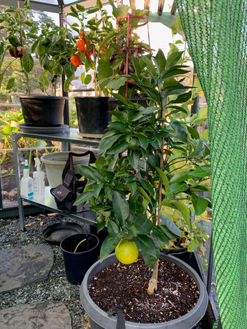 3 year old dwarfed caracare orange tree spent last winter under a coldframe