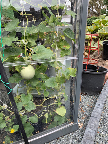 cantaloupe climbing the walls on trellis kit