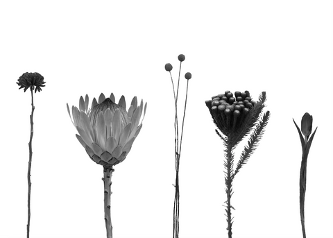 Tea towels: B&W Fynbos Elements