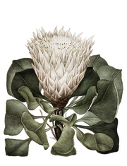 Tea towels: White Protea