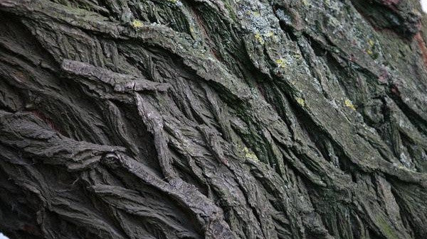 willow bark for clearing pimples