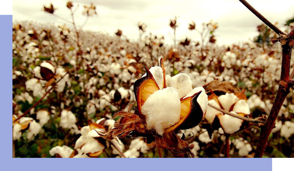 organic cotton field