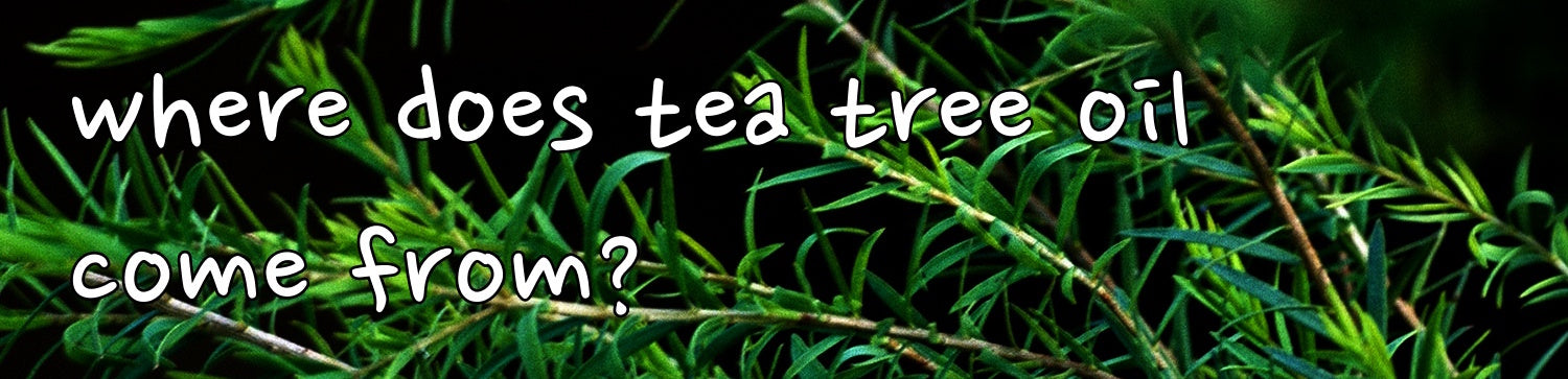 where does tea tree oil come from?