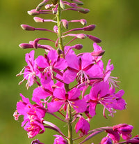 Alaska's Beautiful Fireweed