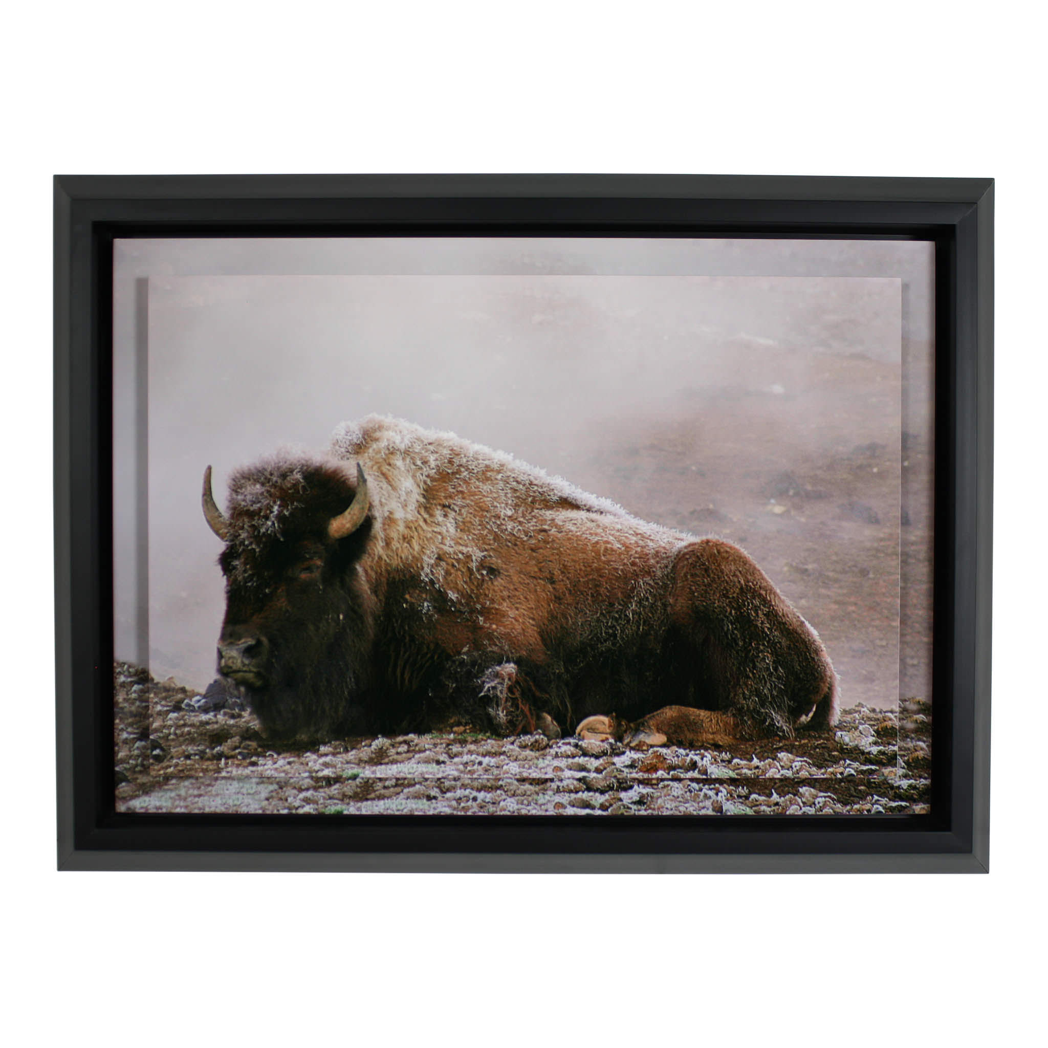 Buffalo Floating Print