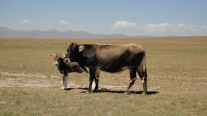 Calf and Mother Cow Somewhere in Kyrgyzstan