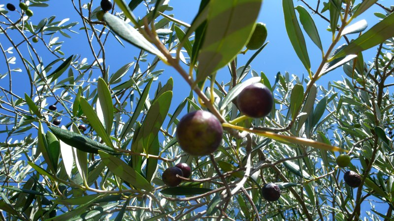 Climate change is impacting olive yields