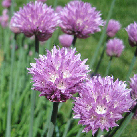 Chives - Grow Your Own