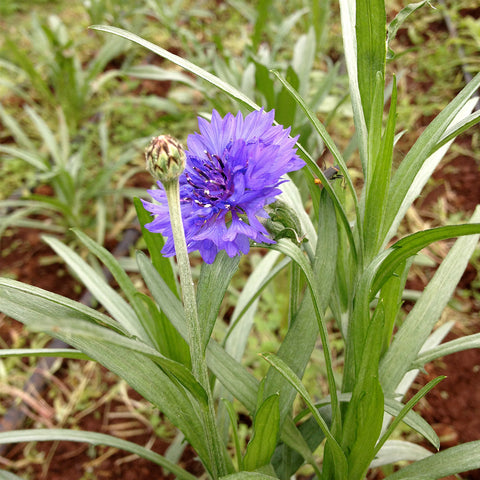 Cornflower - Grow Your Own