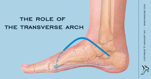 The Role of the Transverse Arch