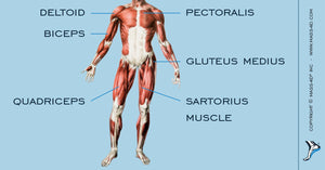 The Limb-Girdle Muscular Dystrophies