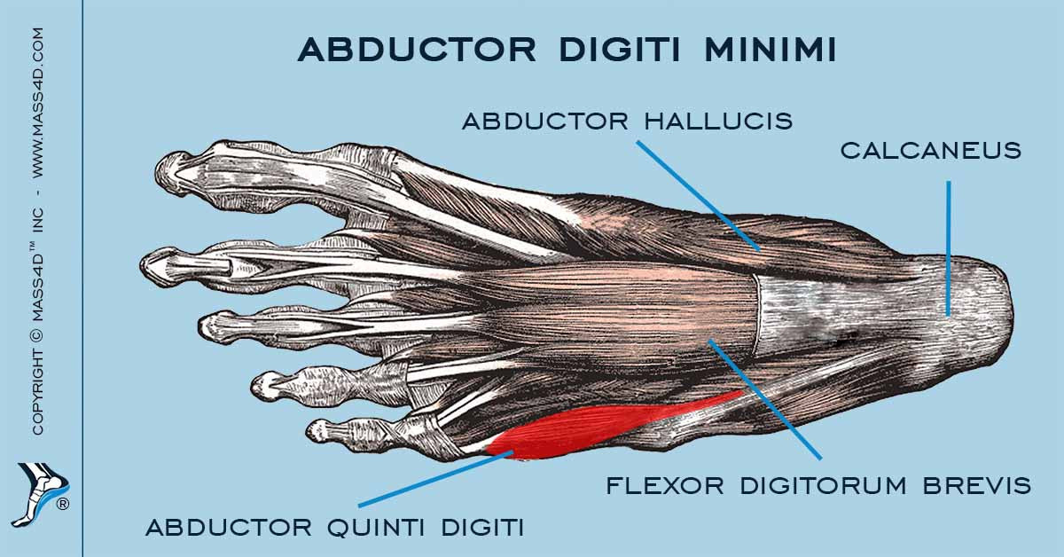 The Abductor Digiti Minimi Muscle