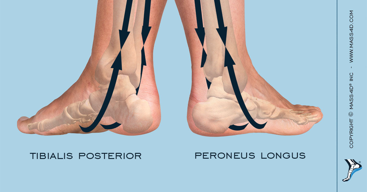 Intrinsic and Extrinsic Foot Muscles