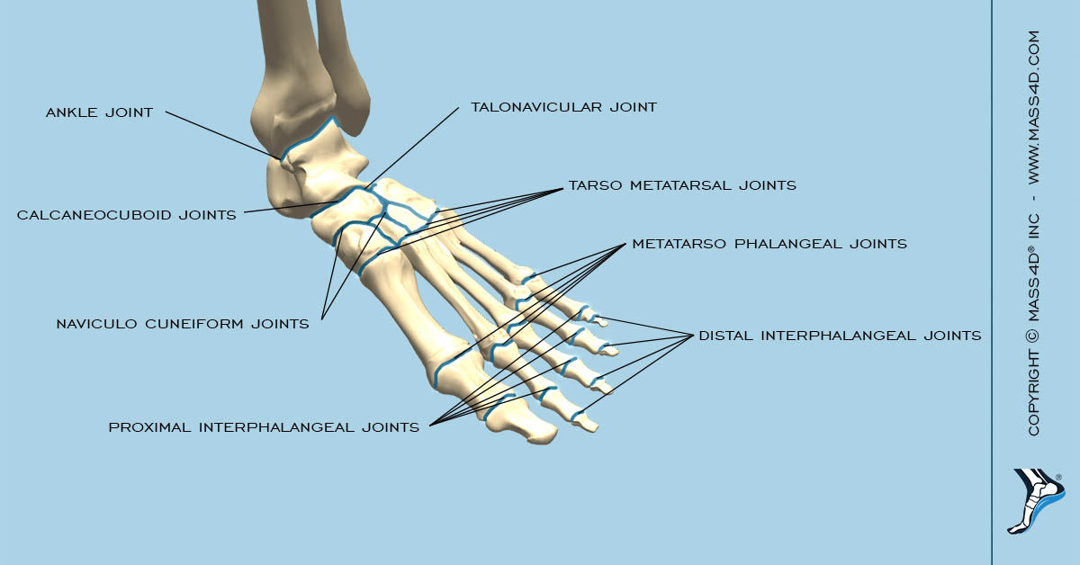 Joints in The Foot And Ankle