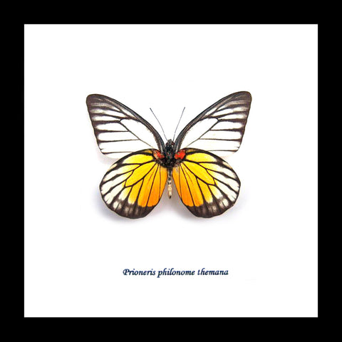 butterfly themania
