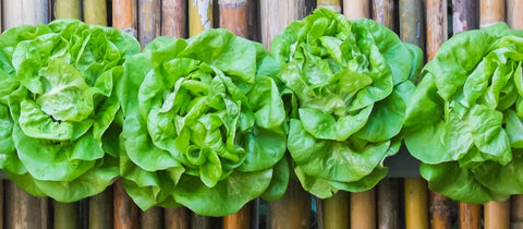 All Green Hydroponics Lettuce