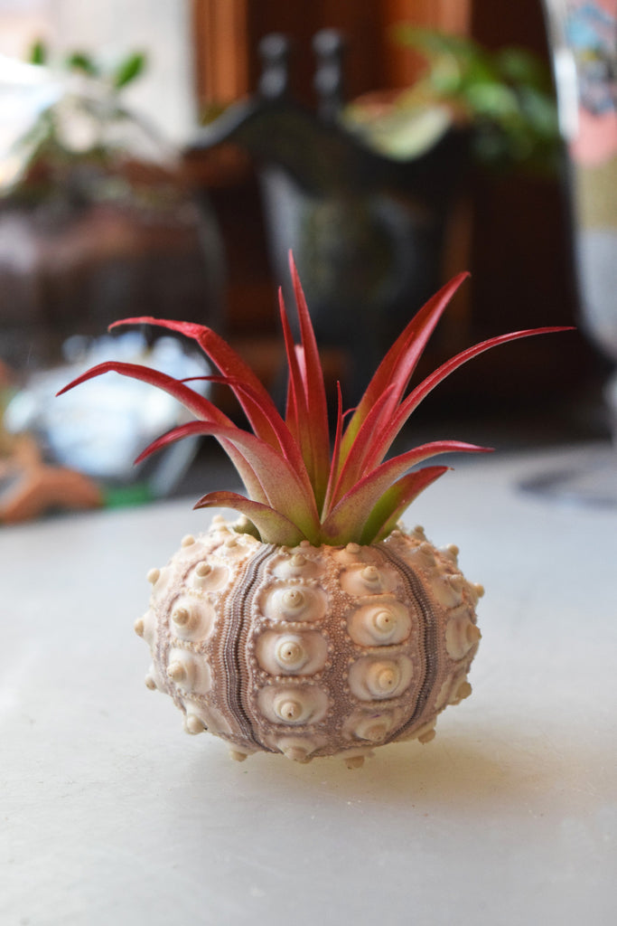 Sea Urchin Shell with Air Plant