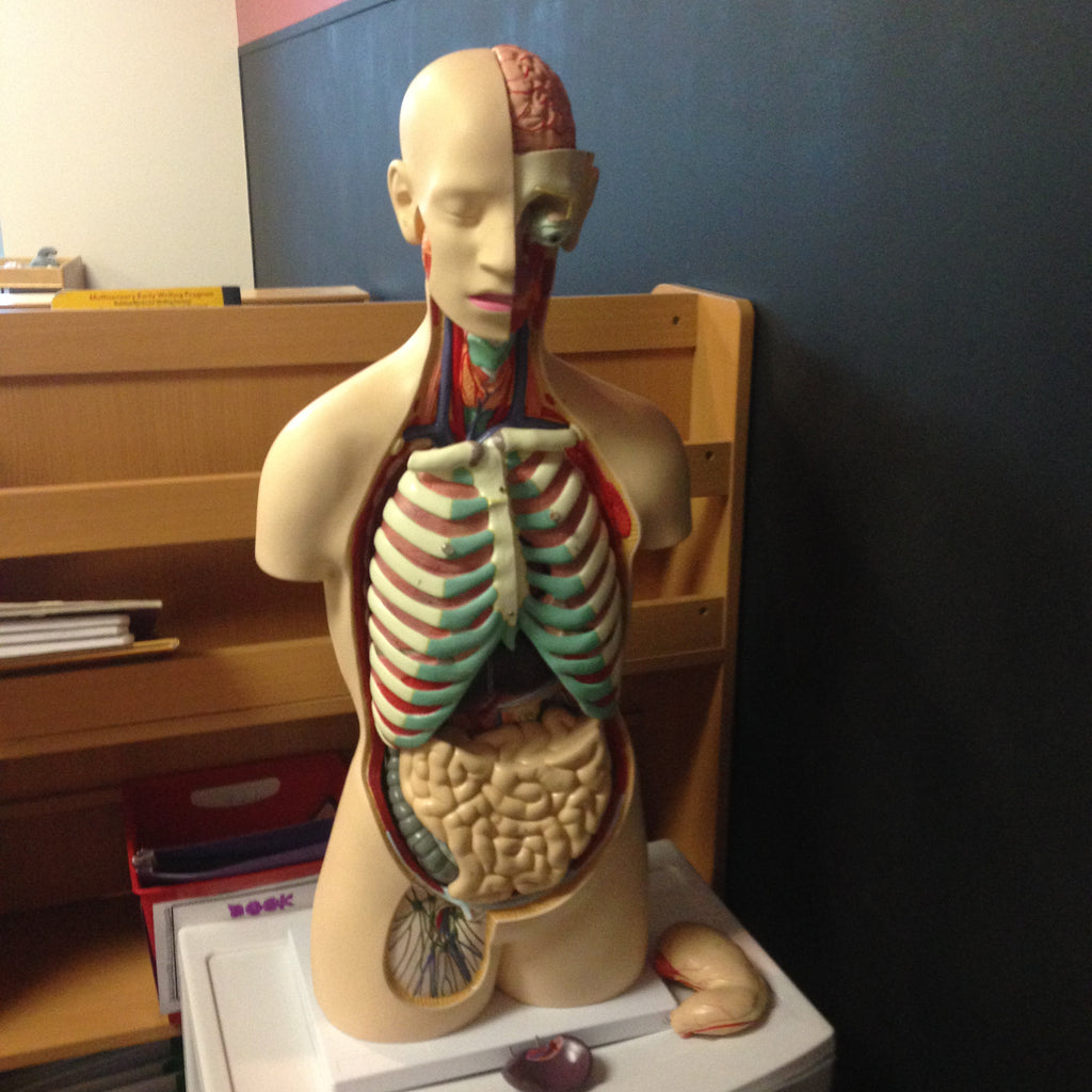 Human Body Model with Removable Organs