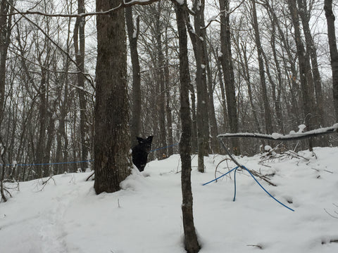 Manny peaking around a sugar maple tree in our new sugarbush