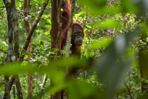 Save the orangutans by choosing palm oil free toothpaste