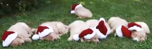 Golden Puppies Excited For Christmas