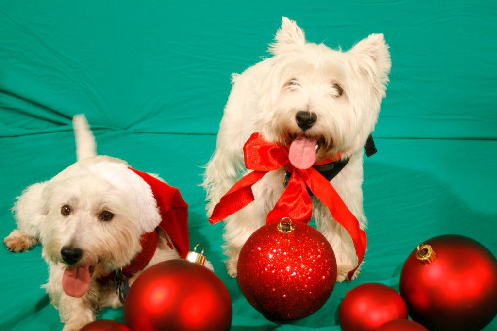 Maryland Westie Rescue Westies