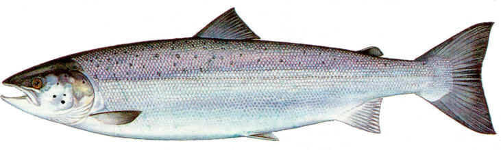 FRESH ATLANTIC SALMON WHOLE 10-15 LBS.