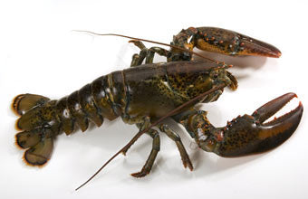 Live Canadian Lobster 1.25 - 1.50 lbs. - QUARTERS ***9.49 CAD/LB***