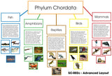 Phylum Chordata Layout - M&M Montessori Materials  - 2