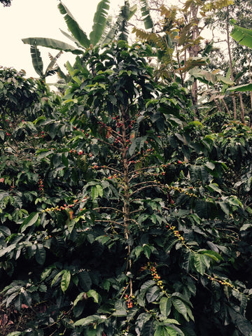 Coffee Tree