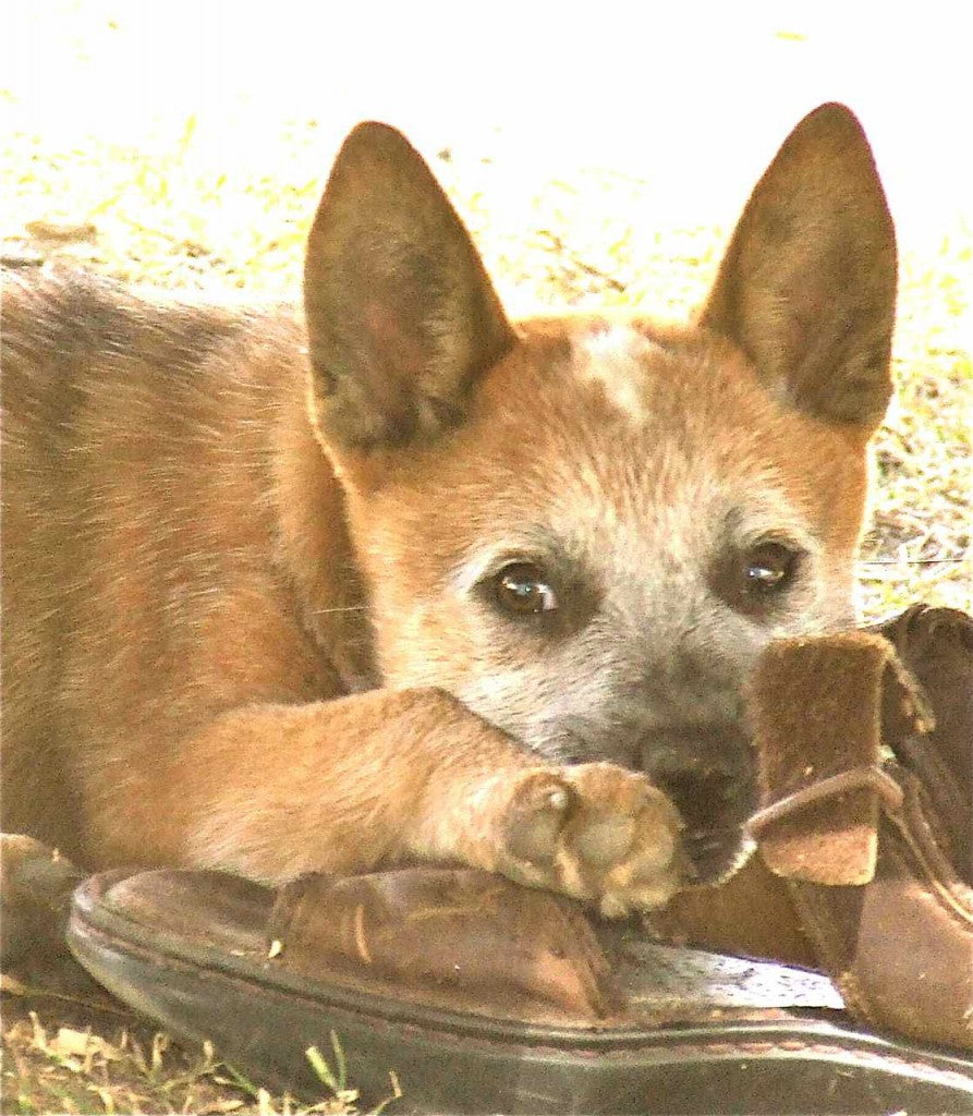 A blog by Sass, (Steves mate, the red cattle dog).