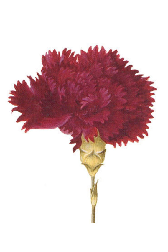 Carnation Red Canvas