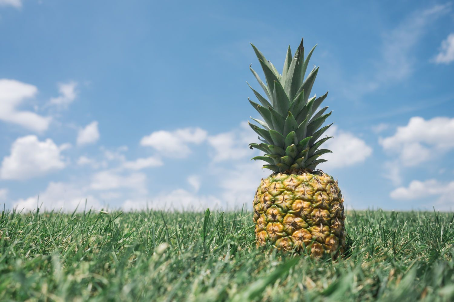 Ananas on the field Canvas