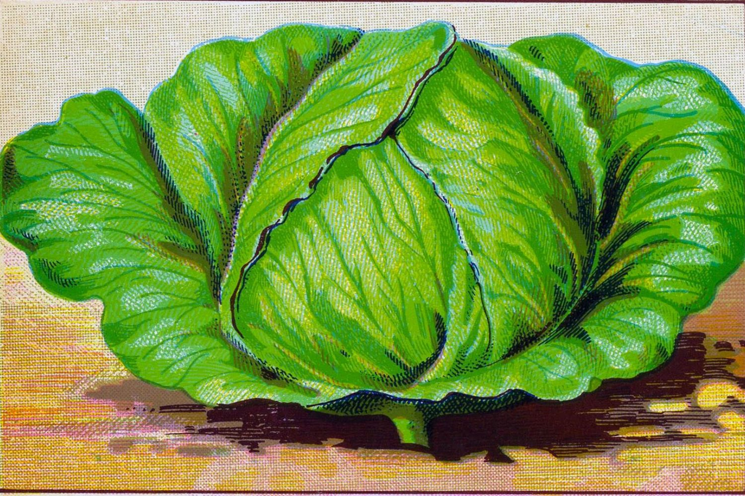 Big Cabbage Canvas