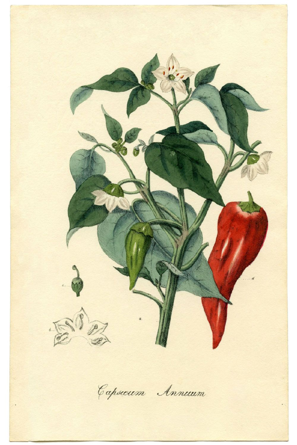 Chili Plant Canvas