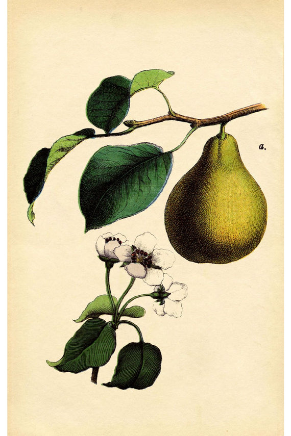 Antique Pear Canvas