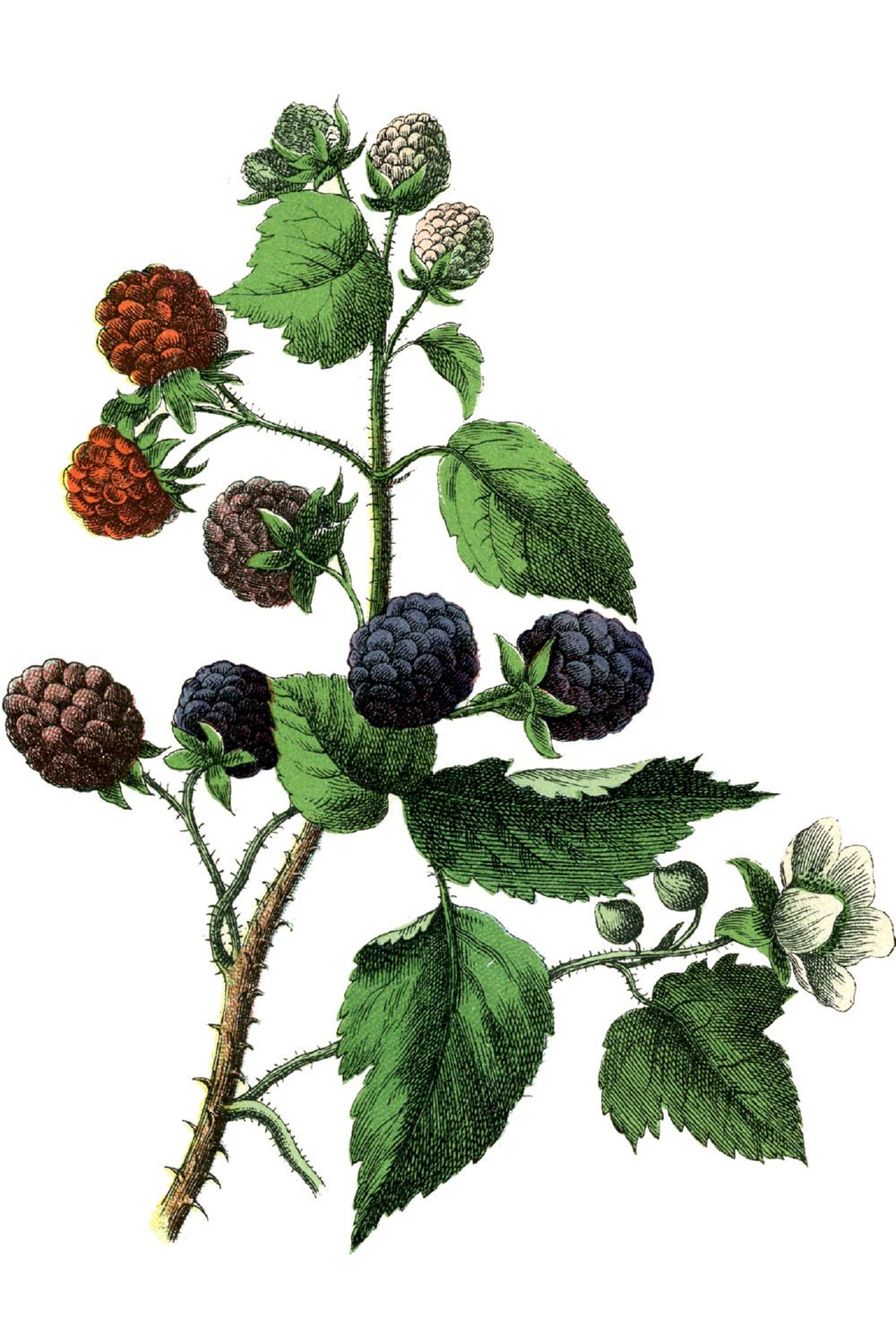Blackberries Canvas