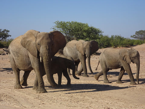 Family of desert elephants
