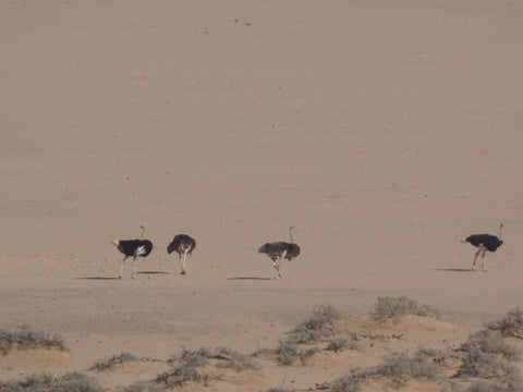 Ostriches in Damaraland