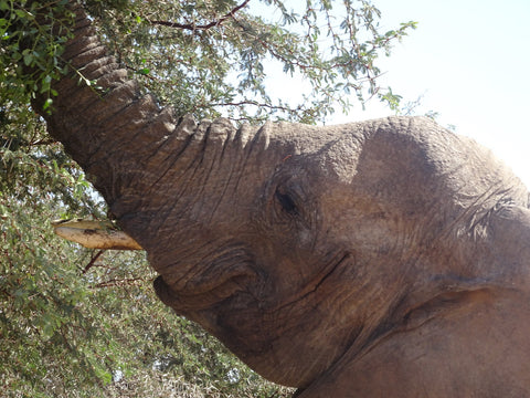 Desert elephant munching on a tree