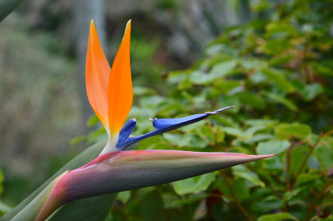 Bird of Paradise, Madeira