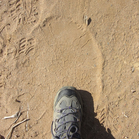 Desert elephant footprint