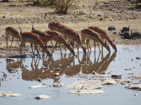 Black Faced Impalas - we love their reflections in the water!
