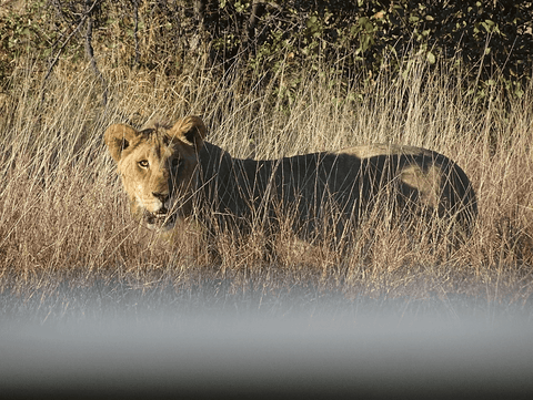 Wild lion at Etosha National Park